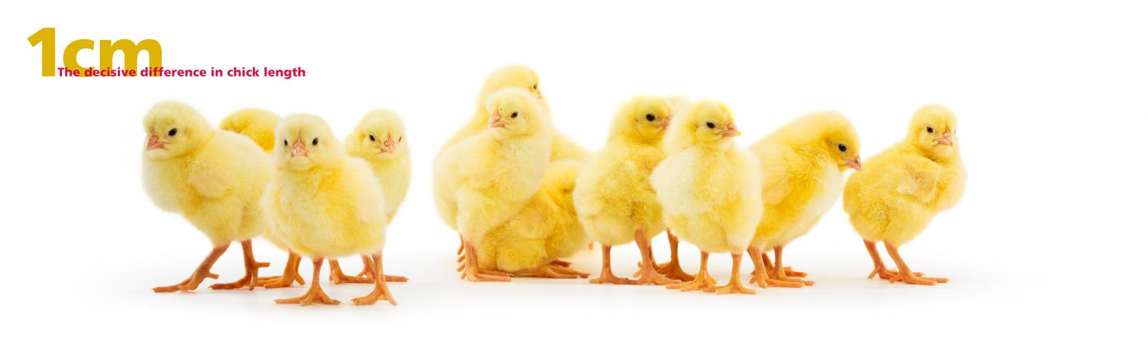 Tips & Chicks_867
